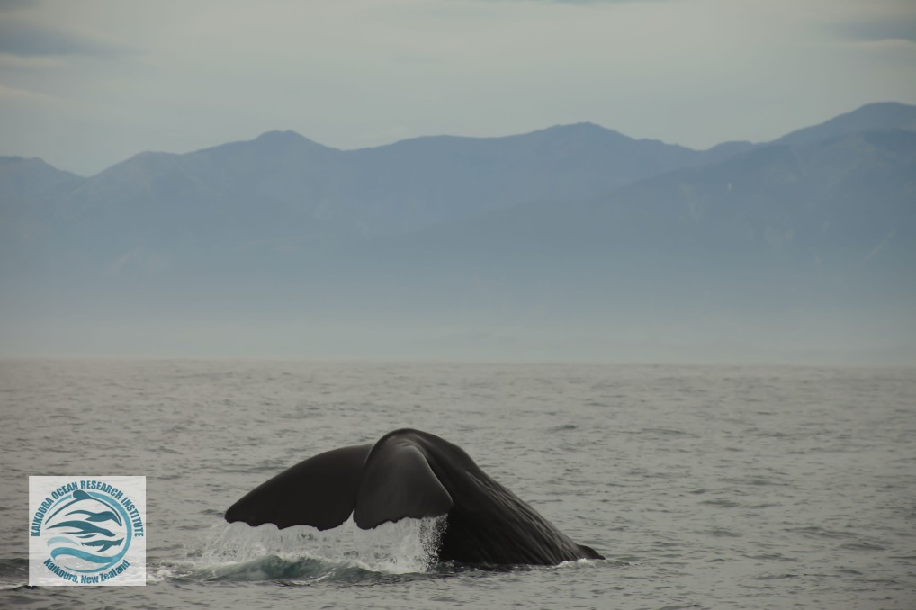 watermarked sperm whale.jpg