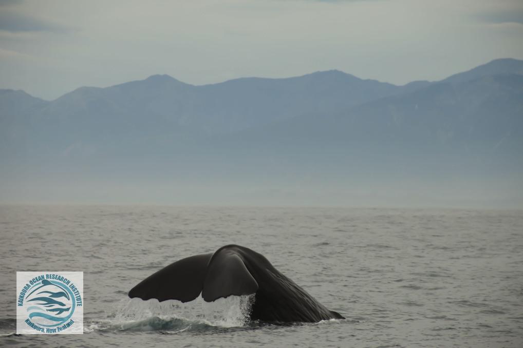watermarked sperm whale.jpg