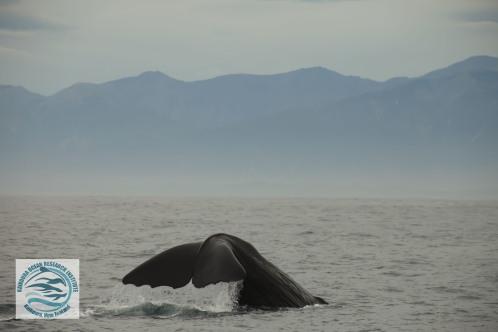 watermarked sperm whale