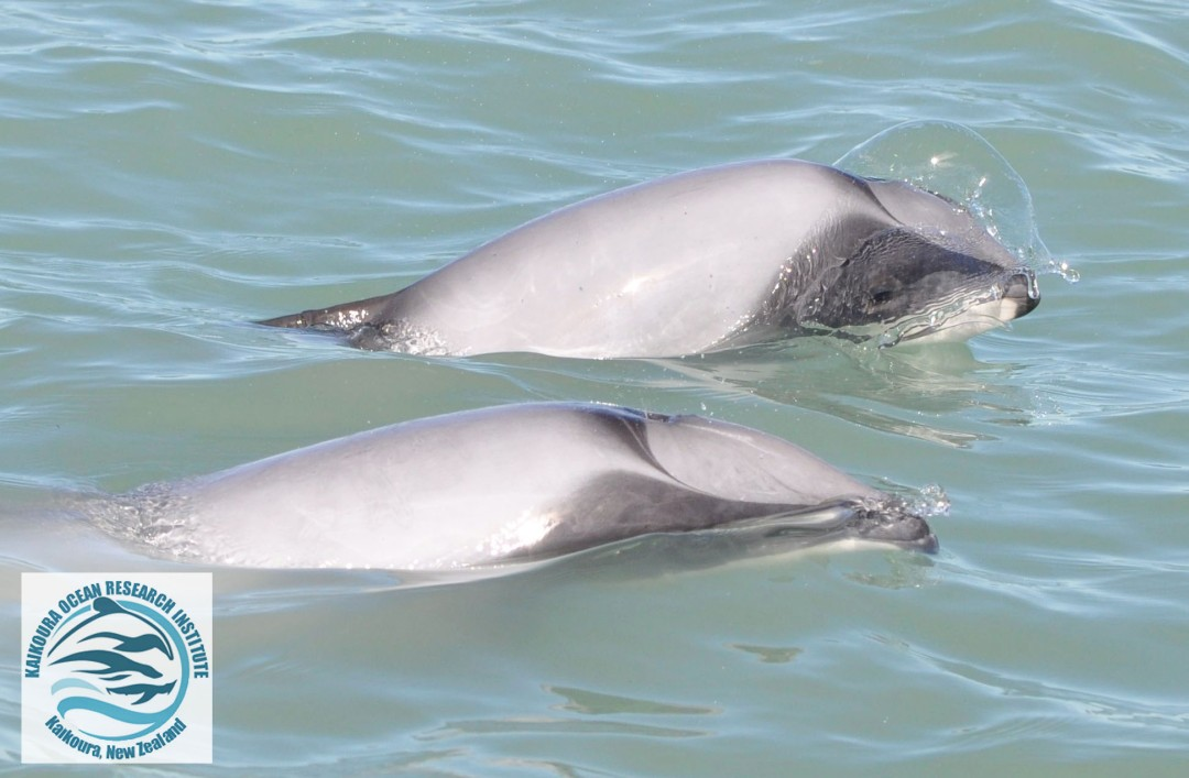 Two Hector's dolphins surfacing, one blowing a bubble through its' blow-hole.