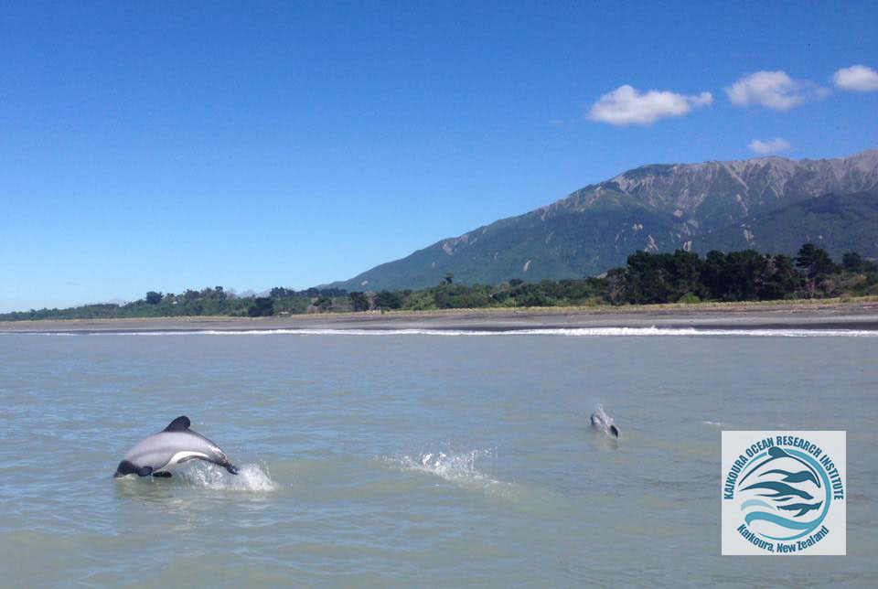 Two Hector's dolphins jumping out of the water near Kaikoura