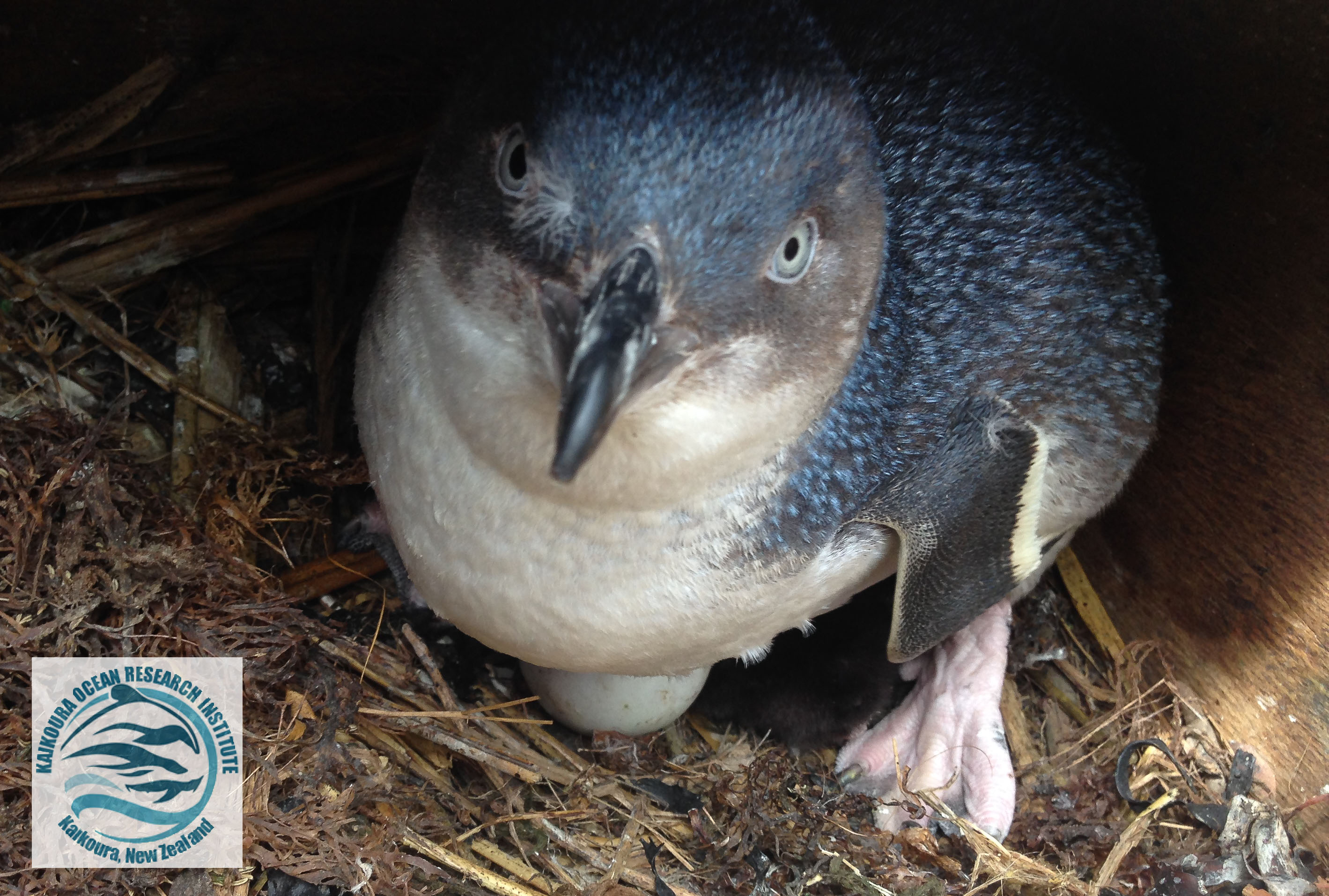 A little blue penguin sitting on its eggs in one of KORI's purpose-built nest-boxes