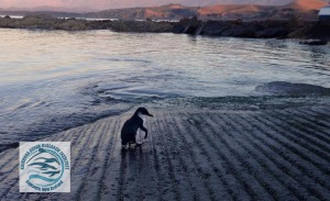 A little blue penguin emerging from the water at one of KORI's P.E.A.P.s