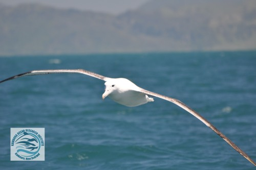 watermarked southern royal flying.jpg